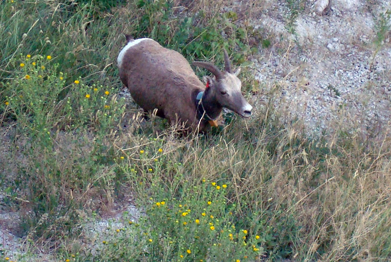 badlands bighorn sheep