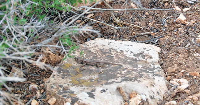 grand canyon lizard