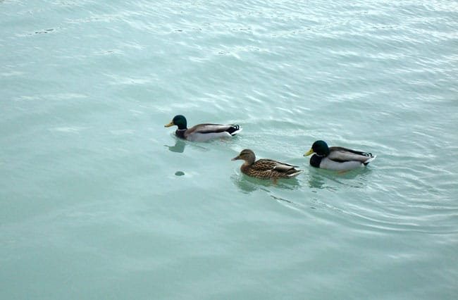chicago ducks