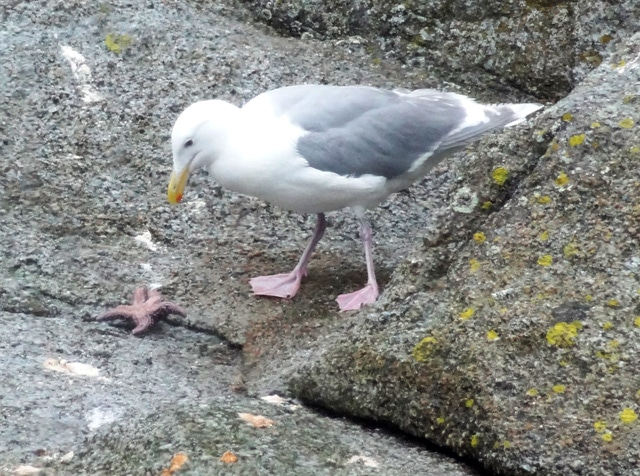 bird eats starfish