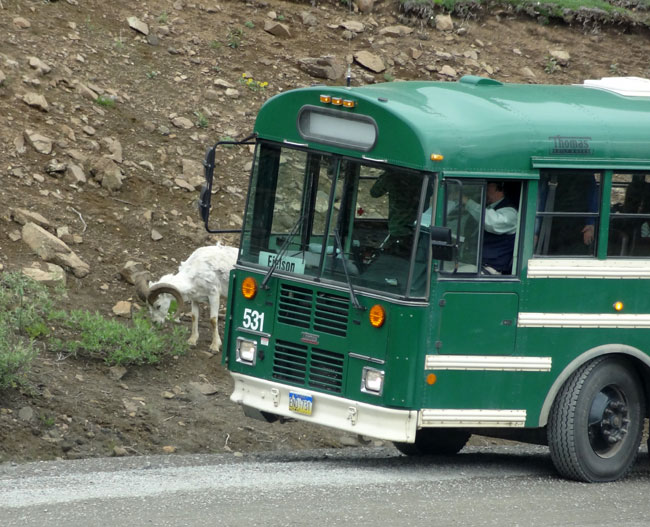 dall sheep bus