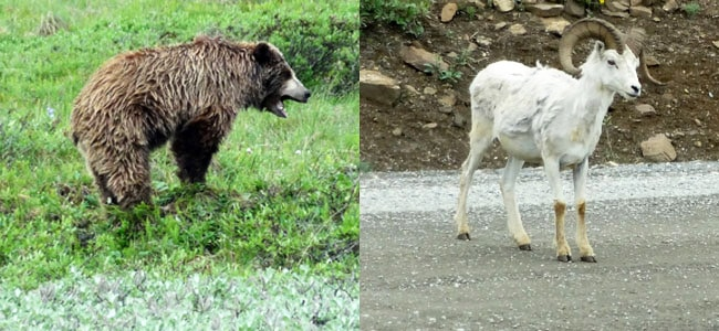 Wildlife sightings in Denali National Park