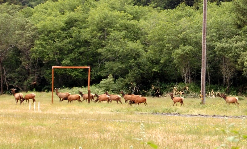elk herd close