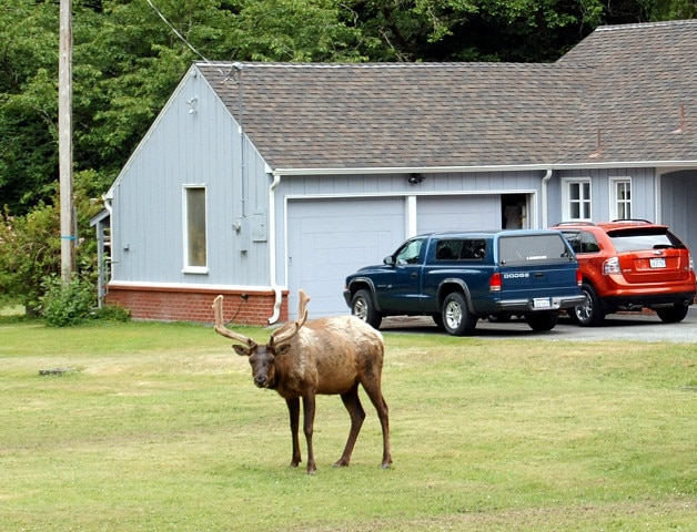 elk male yard