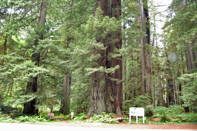 redwoods tree
