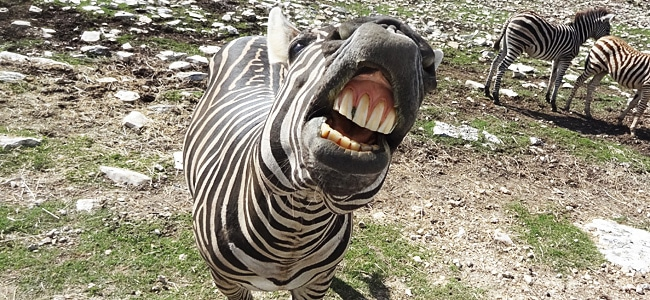 Zebras all up in my face: A visit to the Natural Bridge Wildlife Ranch