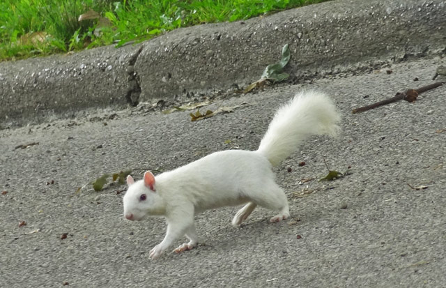 The white squirrels are (almost) everywhere in Olney, Illinois