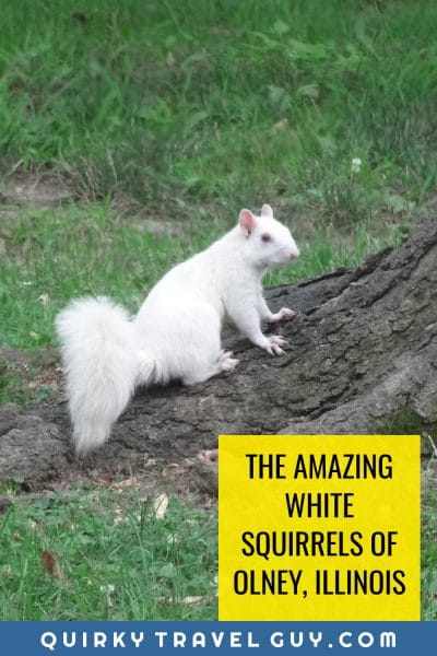 White squirrels of Olney, Illinois