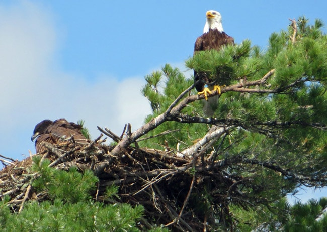 bald eagles voyageurs