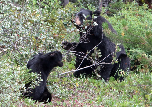 banff black bears