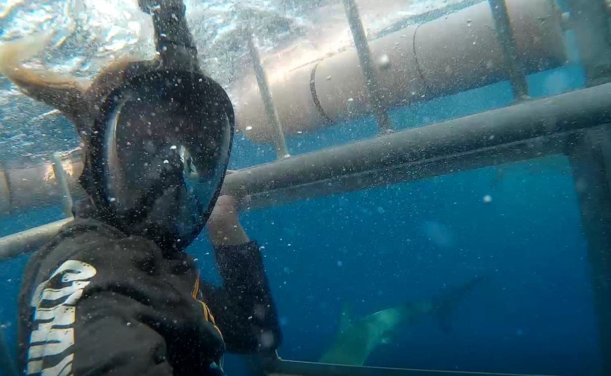 me cage diving sharks hawaii