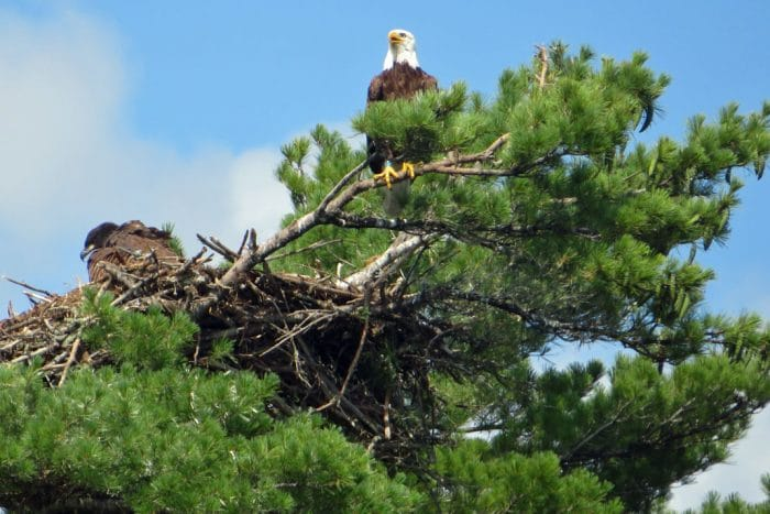 voyageurs national park bald eagles