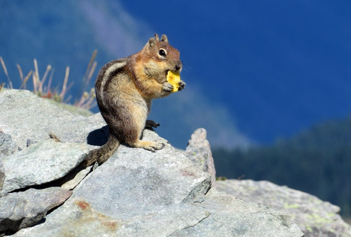 golden mantle squirrel