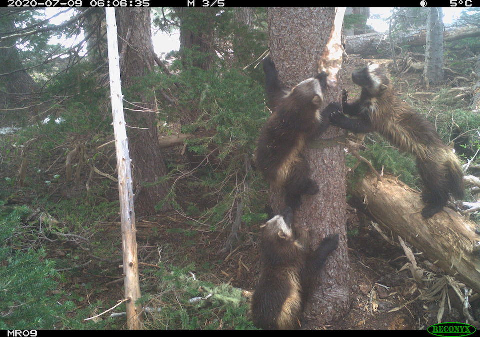 wolverines at mount rainier